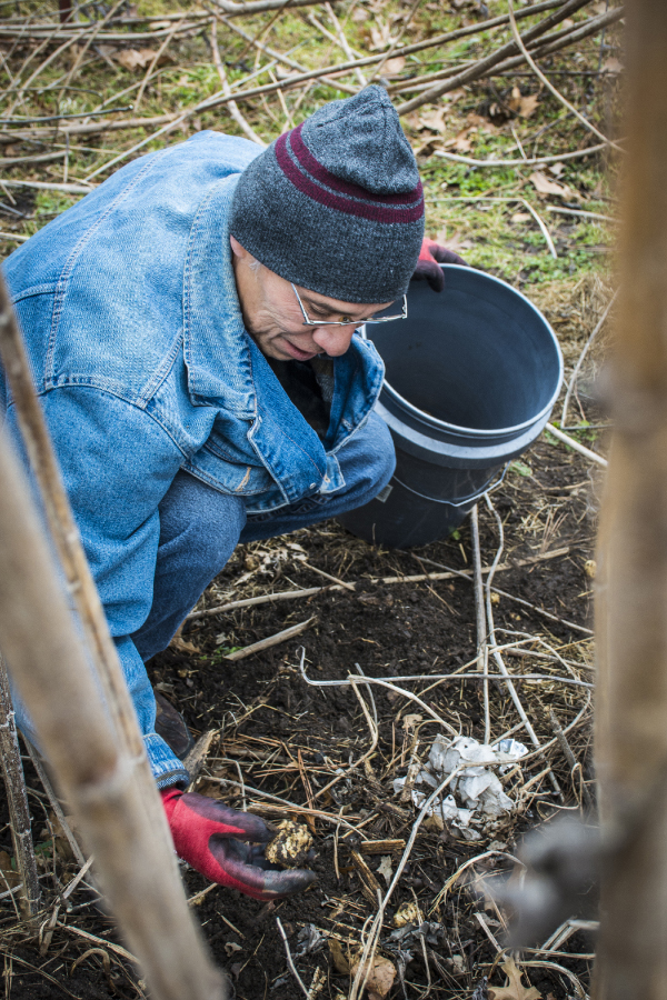 Noel Grayson harvests wild potatoes grown from heritage seeds.